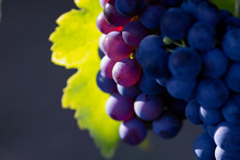 Świecące ciemnych winogron