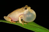 painted reed frog poster