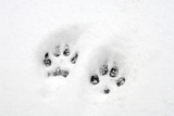 dog pawprints poster