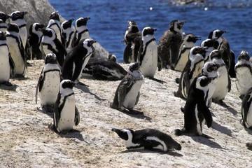 pinguine in südafrika