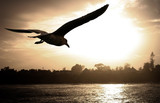 sea gull flying over the ocean at sunset poster