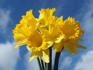 yellow easter daffodils