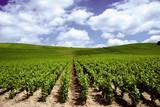 Fototapety vigne