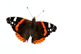 the red admiral  butterfly poster