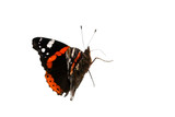 a red admiral butterfly walking around poster