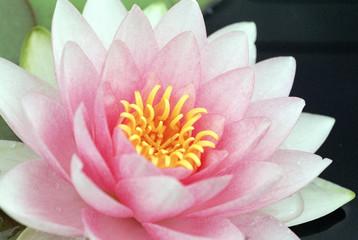 zart rosafarbene seerosenblüte