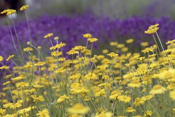 blumenwiese in gelb und lila