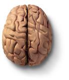 wooden brain