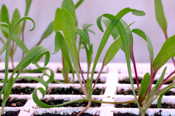 gardening - spinach seedlings