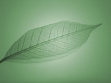 skeleton leaf poster