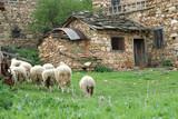 herd of sheep poster