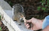 hand fed squirrel poster