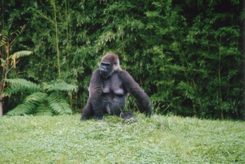 gorilla sitting in grass
