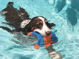 swimming spaniel poster