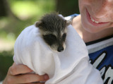 rescued raccoon baby poster