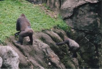 climbing gorillas