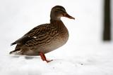 duck poster
