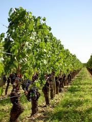 vignes en saint emilion
