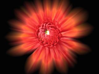 rote supernova blüte