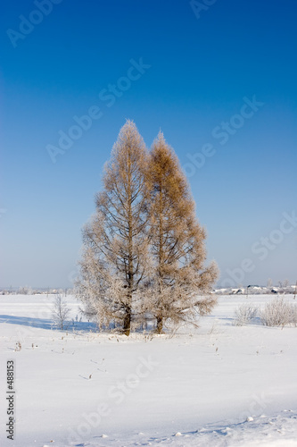 frosten larches, winter landscape