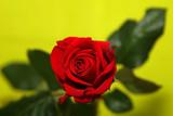 romance-rose poster