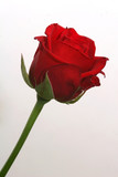 single-rose poster