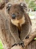 koala cub walking poster