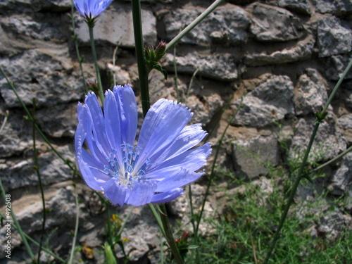 Цветок цикория, фото 559590.