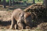 baby elephant - nepal poster