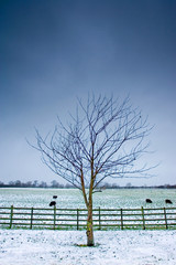 lone tree next to a wintery field with black sheep