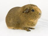 brown guineapig poster