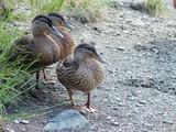 three ducks poster