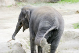 elephant shaking a leg poster