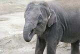 eating elephant poster