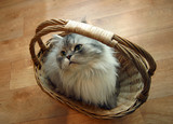 cat in a basket - 2 poster