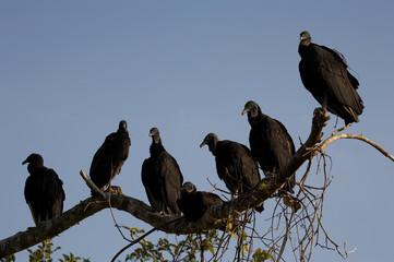 vultures roosting