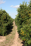 trail through citrus grove poster
