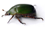 green carab beetle poster