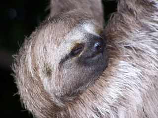 sleeping sloth