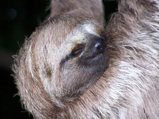 sleeping sloth