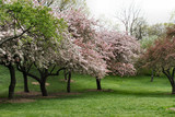 blooming spring trees in new york city poster