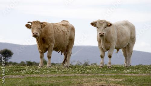 Foto Murales vacas3637