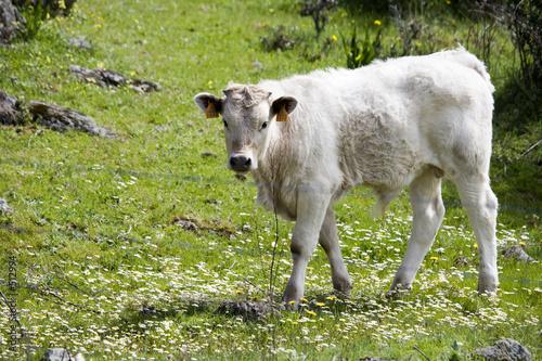 Foto Murales vacas3653