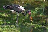 saddle billed stork 2 poster