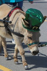 baby mule  in parade