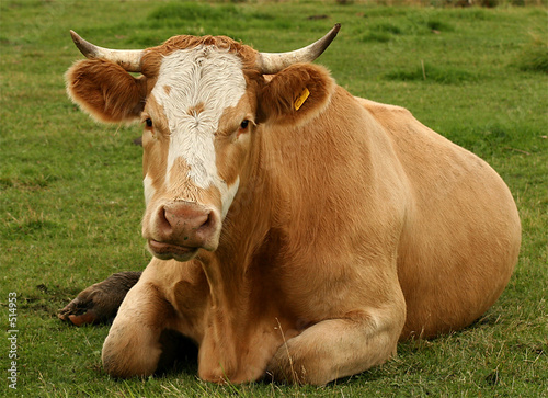 a cow laying on pasture