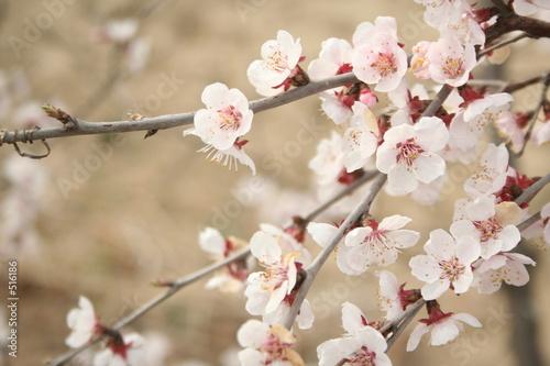 Fotobehang Kersen cherry blossoms 3
