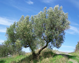 Olive trees over blue sky poster