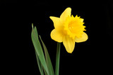 the daffodil, emblem of wales poster
