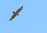 the buzzard in flight poster